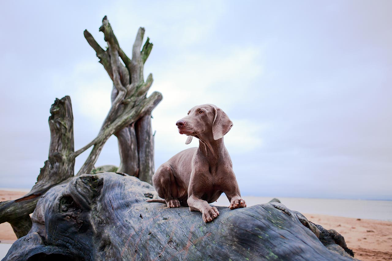 weimaraner dog on driftwood by the beach