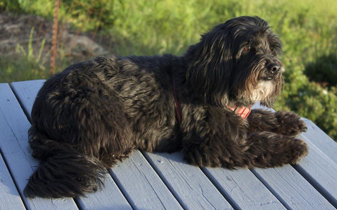 small black dog resting on deck