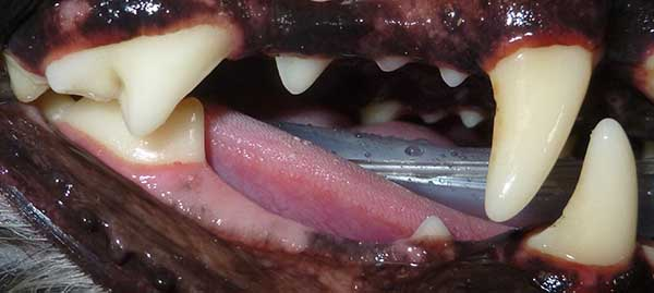 tarter-covered canine teeth before cleaning