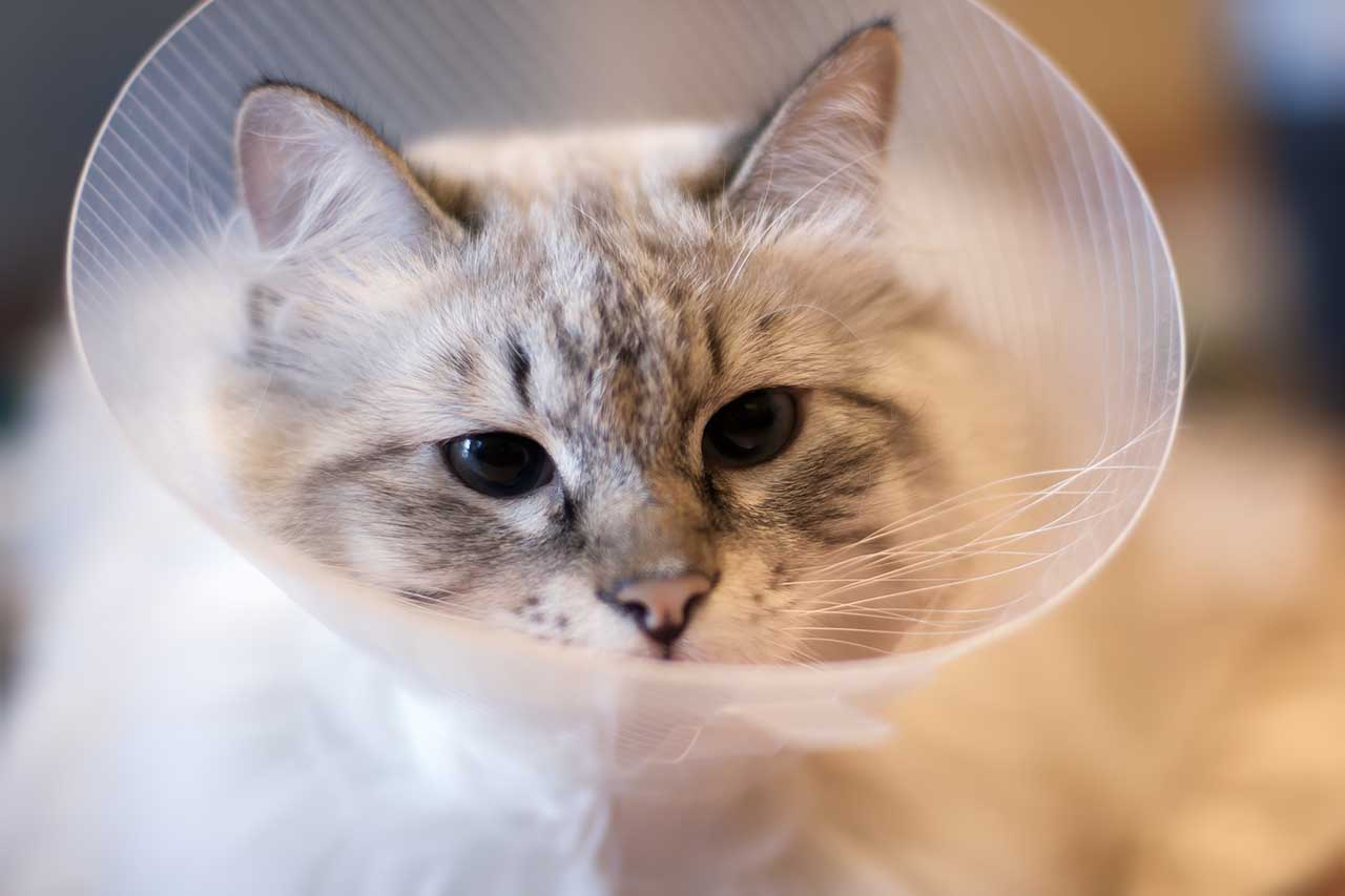 cat in post-surgery collar