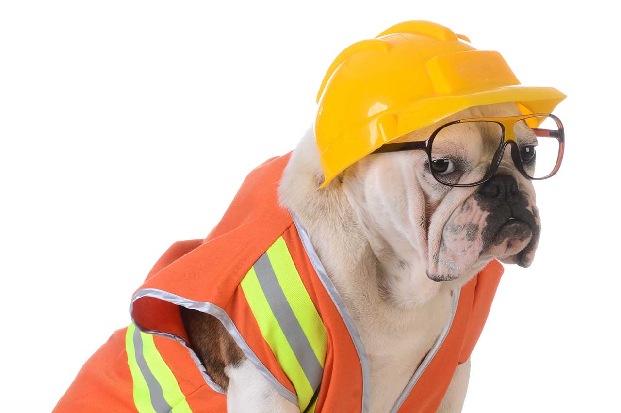 bulldog in safety vest