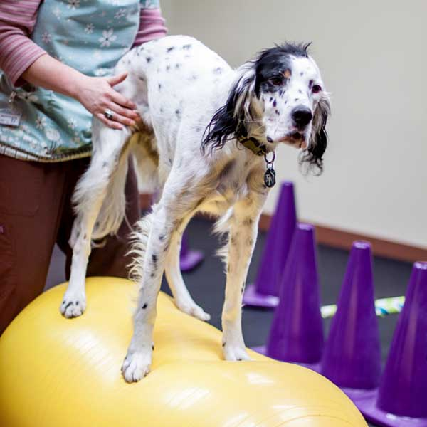 dog on balance ball in animal physical therapy lab